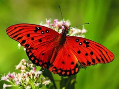 Red butterfly.....