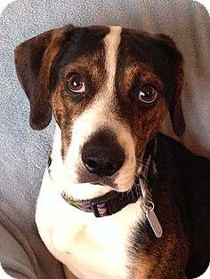 Albemarle, NC - Beagle Mix. Meet Caleb, a dog for adoption. http://www.adoptapet.com/pet/13938295-albemarle-north-carolina-beagle-mix