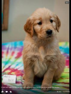 Colorado Golden! #goldenretriever #puppy  soooo cute!