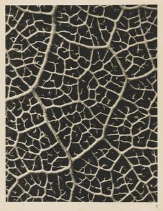 Karl Blossfeldt - Wundergarten der Natur, 1932 - Foca-se só numa parte da fotografia, emancipa-a. Karl Blossfeldt, Still Life Photography, White Photography, Nature Photography, Flower Photography, Abstract Photography, Vintage Photography, Natural Structures, Natural Forms