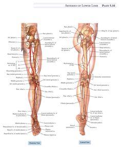 Anatomy of the leg.
