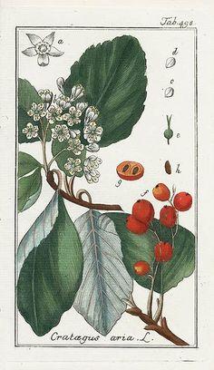 via Johannes Zorn, Icones Plantarum Medicinalium 1779