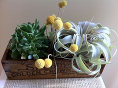 Rustic centerpiece (Vintage Cheese Box w/ Succulents and Air Plant)