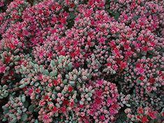 Liten Kärleksört - Hylotelephium Cauticola Flower Beds, Perennials, Flowers, Plants, Red, Gardening, Lawn And Garden, Plant, Royal Icing Flowers