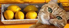 Nuevo post sobre cuidados para gatos , Solución al problema del olor de orina de gato ,os traemos un remedio casero para eliminar el olor de orina de gato.