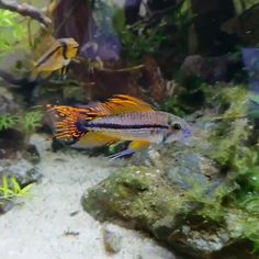 How To Choose A Tropical Fish Aquarium The first decision you must make when you buy an aquarium is whether you plan to keep freshwater fish or saltwater Tropical Freshwater Fish, Tropical Fish Aquarium, Freshwater Aquarium Fish, Planted Aquarium, Kids Aquarium, Aquariums, Cichlid Aquarium, Saltwater Fish Tanks, Fish Wallpaper