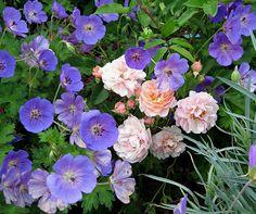 2011 garden addition, Geranium 'Rozanne'