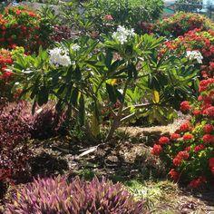 White Frangipani Tree Google Search Flower Plumeria