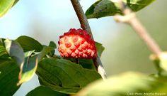 Fruit Cornus Venus