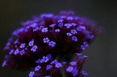 Purpletop Verbena in Moonlight