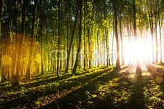 Morning light of the sun makes its way through the forest