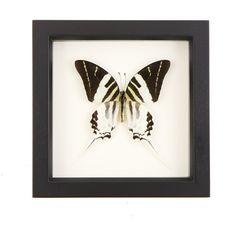 Framed Giant Swordtail Butterfly Wall Art Display Insect Taxidermy ($46) ❤ liked on Polyvore featuring home, home decor, wall art, black, home & living, home décor, wall décor, framed wall art, black white wall art and black and white wall art