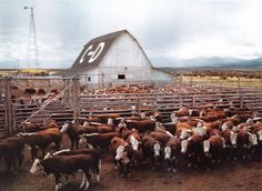 Big Sky Journal - Cattle in corrals, Beaverhead County. Photographer: Russell Lee, September Courtesy Library of Congress, Prints Ranch Farm, Ranch Life, The Ranch, Cattle Ranch, Cattle Farming, Livestock, Beef Farming, Big Sky Country, Country Life