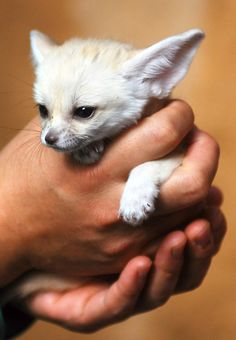 There is nothing more adorable than a Fennec Fox, unless it's Jack Hanna holding a fennec ~ Miniature beauty Fennec fox by floridapfe on Flickr.
