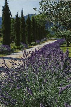 Cypress pine, lavender and olive