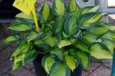 Hosta 'Justine' --- Jan Van Den Top.
