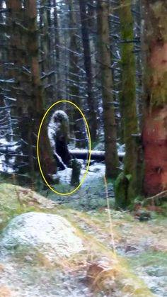 Mum's eerie image captures 'Bigfoot'-like creature skulking through the trees in forest 'haunted by plane crash' - or is it just a few trees? Bigfoot Sasquatch, Real Bigfoot, Bigfoot Pictures, Pie Grande, Scary, Creepy, Finding Bigfoot, Bigfoot Sightings, Mystical Forest