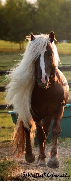 Black Forest stallion named Dante. - Horse Breeds