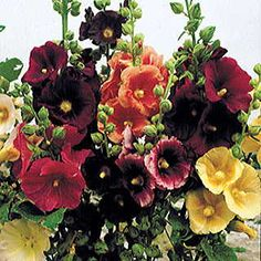 Hollyhock Old Barnyard Mix. An heirloom selection of 4- to 6-foot-tall plants with single 3- to 5-inch blooms in bright and pastel shades of pink, red, yellow, and dark maroon.