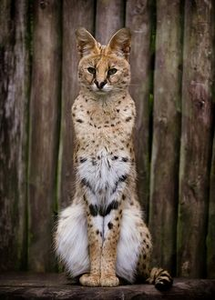 Serval. This African wild cat lives on the savanna. Relative to its body size (2-3 feet,) it is the longest-legged cat in the world. It does not like to climb, but is a very fast runner and agile jumper. The population has been reduced due to killing it for its fur. Animal portrait by Wil Wardle.