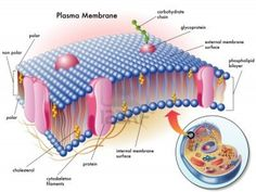 The cell membrane and plasma membrane are the protective boundaries of a cell. Explore cell membrane and plasma membrane function and the difference between the two. Membrane Structure, Structure And Function, Plasma Membrane, Cell Membrane, Cell Biology Notes, Animal Cell Project, Biology Classroom, Teaching Biology, Mass Spectrometry