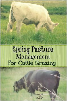 Want the best grasses for your cows? Here are some spring pasture management tips for preparing the pasture for grazing. via @www.pinterest.com/farmfitliving