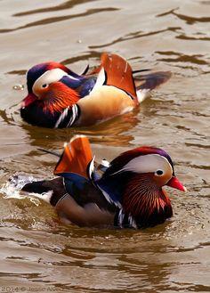 Mandarin Duck ~ Mandarinente ~ Aix galericulata
