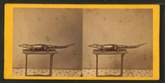 Stereoview, [Studio photograph of an alligator on table.] ([ca. 187-])