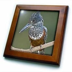 "Africa. Tanzania. Giant Kingfisher in Manyara NP.-AF45 RBE0152 - Ralph H. Bendjebar - 8x8 Framed Tile by 3dRose. $22.99. Dimensions: 8"" H x 8"" W x 1/2"" D. Cherry Finish. Solid wood frame. Keyhole in the back of frame allows for easy hanging.. Inset high gloss 6"" x 6"" ceramic tile.. Africa. Tanzania. Giant Kingfisher in Manyara NP.-AF45 RBE0152 - Ralph H. Bendjebar Framed Tile is 8"" x 8"" with a 6"" x 6"" high gloss inset ceramic tile, surrounded by a solid wood frame wit..."
