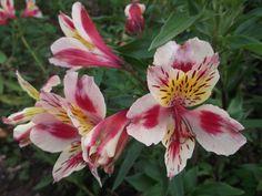 Flor Astromelia