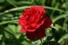 Ruusu – tämä on hieno! | Vesan viherpiperryskuvat – puutarha kukkii