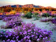 desert flowers in Arizona Desert Colors, Desert Flowers, Desert Plants, Wild Flowers, Desert Dream, Desert Life, Beautiful World, Beautiful Places, Beautiful Scenery