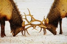 Yellowstone Elks Lock Antlers Photograph by Bill and Deb Hayes