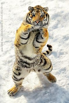 Kung Fu Tiger | Cutest Paw... watch out for the left jab!
