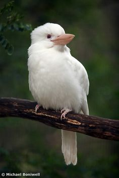 Albino Kookaburra - by Michael Boniwell