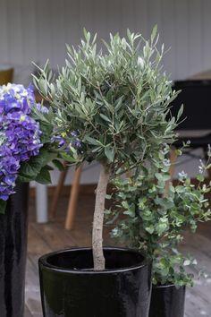 Oliventreet gir et moderne sydlansk preg på terrassen. Backyard Patio, Garden Inspiration, Garden Plants, Outdoor Spaces, Planters, Terrace, Outdoor Living Spaces, Planter Boxes, Outdoor Rooms
