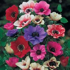 """Poppy anemone mix. A kaleidoscope of summer color on a bed of finely divided leaves is a rewarding site for spring! Each bulb produces multiple 10-15"""" stems and long-lasting, brilliant 2"""" flowers. Flowers best when planted in full sun to partial shade. Soaking tubers for several hours prior to planting will help them start growing sooner. 5+ cm bulbs. Zones 6-10. - See more at…"""