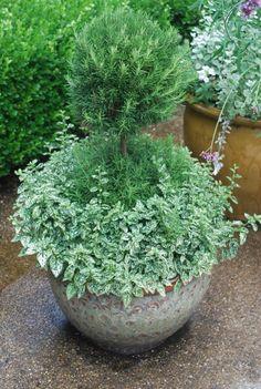 double-ball-rosemary-topiary-and-polka-dot-plant.jpg