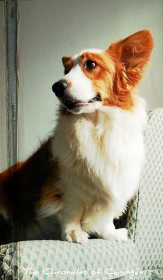 The Chronicles of Cardigan: Wherein I Show You 12 Pics of Smokin' Hot, Shaggy and/or Red-Headed Guys of Whom Is My Dog) Redhead Men, Foster Kittens, Cardigan Welsh Corgi, Dog Boarding, Corgis, Shaggy, Redheads, Chihuahua, Toothless