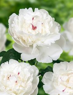 FESTIVA MAXIMA: Very old and still one of the best cut flower peonies. Nice sweet smelling peony with large, pure white, flowers with red spots in the heart.