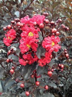 Black Diamond Crepe Myrtles, with amazing bursting red-orange blooms and gorgeous dark leaves.