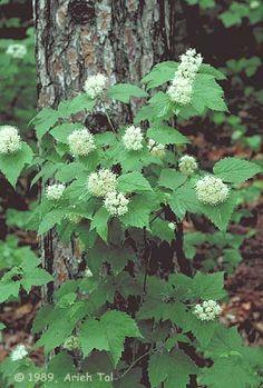 "Viburnum acerifolium ""mapleleaves viburnum""   native shade tolerant shrub with flowers fruit and fall foliage"