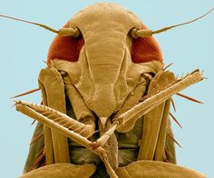 A coloured scanning electron micrograph of the underside of the head of a froghopper (superfamily Cercopoidea)