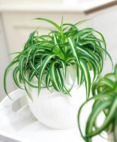 Crawler Plants And Cats: Why Are Cats Eating Spider Plant Leaves And Can It Be Harmful? Harmful Plants, Sweet Home Design, Chlorophytum, Spider Plants, Natural Home Decor, Garden Pests, Planted Aquarium, Green Plants, Cool Diy Projects