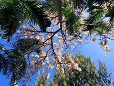 ハワイの桜が開花