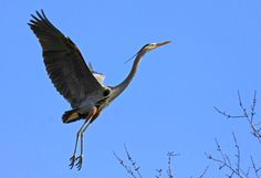 Great Blue Heron at the heronry on Bath Road in Akron, OH. Photo by volunteer Jerry Cannon.