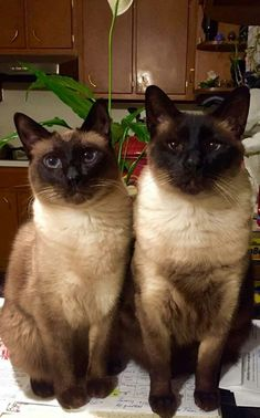 I love my Siamese rescue baby! Best photos and images ideas about siamese cat - most affectionate cat breeds Siamese Kittens, Kittens Cutest, Cats And Kittens, I Love Cats, Crazy Cats, Cool Cats, Beautiful Cat Breeds, Beautiful Cats, Dog Cat