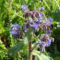 beautiful blue Borage