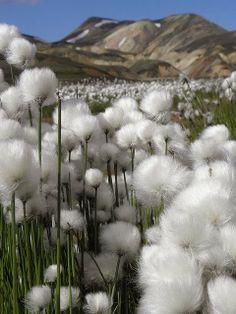 Cotton Grass, Iceland -