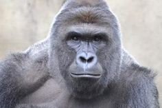 Remembering Harambe One Year After His Death - http://viralfeels.com/remembering-harambe-one-year-after-his-death/